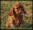 Cavalier King Charles Spaniel Puppy For Sale in WAYLAND, IA, USA