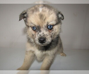 Pomsky Puppy for sale in CHICAGO, IL, USA