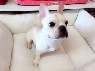 French Bulldog Puppy For Sale in SAN GABRIEL, CA