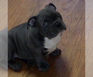 American Bully Dog for Adoption in GREENSBORO, North Carolina USA