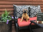 Bullmastiff Puppy For Sale in MORGANTOWN, PA, USA