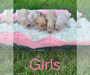 Goldendoodle-Poodle (Miniature) Mix Puppy for sale in MORGANTOWN, KY, USA