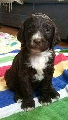Springerdoodle Puppy For Sale in PROVIDENCE, RI