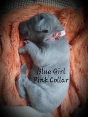 Weimaraner Puppy For Sale in GIRARD, OH, USA