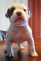 American Pit Bull Terrier Puppy For Sale in EAGLE RIVER, AK