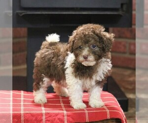 Poodle (Miniature) Puppy for sale in EAST EARL, PA, USA