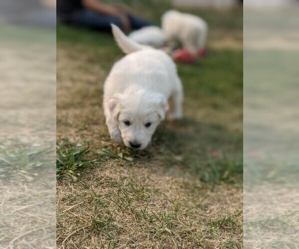 Medium Photo #104 Great Pyrenees Puppy For Sale in FALCON, CO, USA