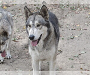 Father of the Wolf Hybrid puppies born on 01/31/2021