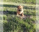 Puppy 1 Victorian Bulldogge