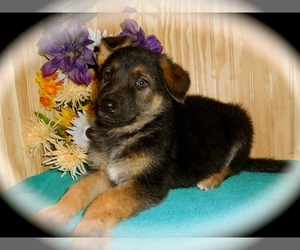 German Shepherd Dog Puppy for Sale in PALOS HILLS, Illinois USA