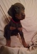 Puppy 5 Doberman Pinscher