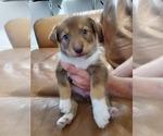 Puppy 1 Australian Shepherd-Siberian Husky Mix