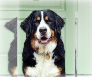 Mother of the Bernese Mountain Dog puppies born on 05/22/2021