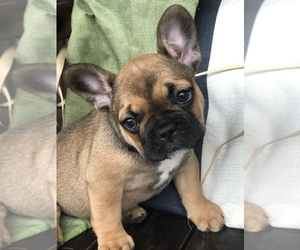 French Bulldog Puppy for sale in PARAGOULD, AR, USA