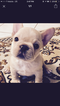 French Bulldog Puppy For Sale near 06512, East Haven, CT, USA