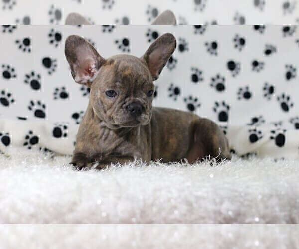 Full screen Photo #4 French Bulldog Puppy For Sale in HOUSTON, TX, USA