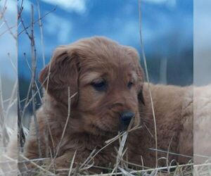 Golden Retriever Dog for Adoption in SAINT IGNATIUS, Montana USA