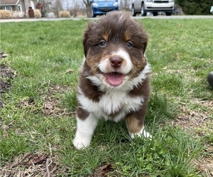 Australian Shepherd Puppy for sale in WATERVLIET, MI, USA