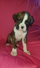 Boxer Puppy For Sale in ORONOGO, MO