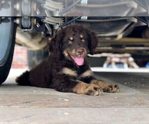 F2 Aussiedoodle Puppy for Sale in DUBUQUE, Iowa USA