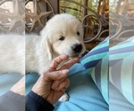 Small #17 English Cream Golden Retriever