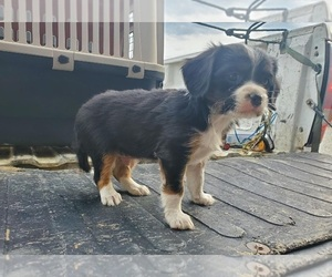 Australian Shepherd-Cavalier King Charles Spaniel Mix Puppy for sale in CLARKRANGE, TN, USA