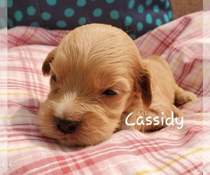 Cavapoo Puppy for sale in COLBY, WI, USA
