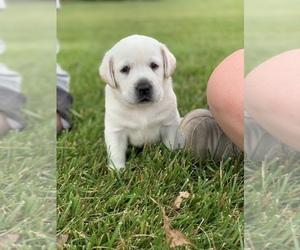 Labrador Retriever Puppy for Sale in RANDOLPH, Wisconsin USA