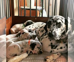 Dalmatian Puppy for Sale in WILMINGTON, Delaware USA