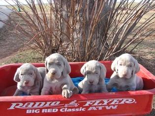 Weimaraner Puppy For Sale in AMORITA, OK, USA
