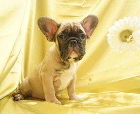 Hugo Beautiful Male Frenchie Pup