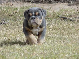 Bulldog Puppy For Sale in EL PASO, TX
