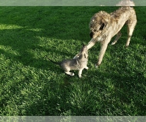 Mother of the Irish Wolfhound puppies born on 03/04/2019