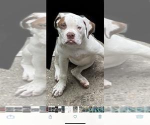 American Bulldog Puppy for sale in PASSYUNK, PA, USA