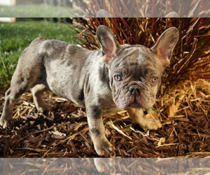 French Bulldog Puppy for sale in PERRIS, CA, USA