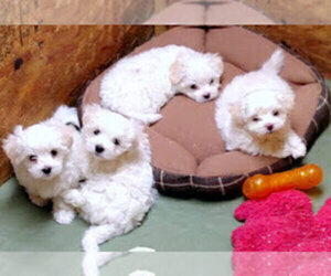 Bichon Frise Puppy for sale in WINSTON-SALEM, NC, USA