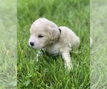 Small #3 Golden Cocker Retriever