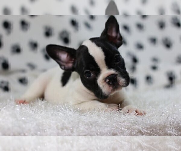 Medium Photo #2 French Bulldog Puppy For Sale in GLENVILLE, CT, USA