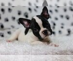 Small Photo #2 French Bulldog Puppy For Sale in GLENVILLE, CT, USA