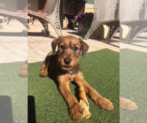 Irish Terrier Puppy for Sale in NAMPA, Idaho USA