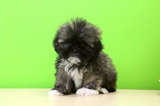 View Ad Shih Tzu Puppy For Sale Ohio Portsmouth Usa