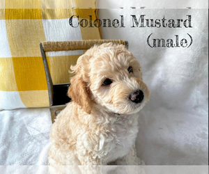 Goldendoodle-Woodle Mix Puppy for Sale in EAST LAYTON, Utah USA