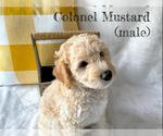 Puppy 1 Goldendoodle-Woodle Mix