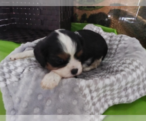 Cavalier King Charles Spaniel Dog for Adoption in BLMGTN, Indiana USA