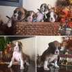 Boxer Puppy For Sale in HURRICANE, UT, USA