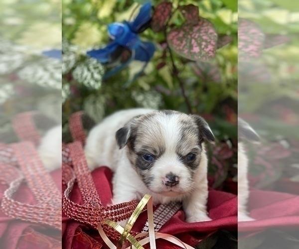 Medium Photo #10 Bullhuahua-Chihuahua Mix Puppy For Sale in RAWSONVILLE, MI, USA