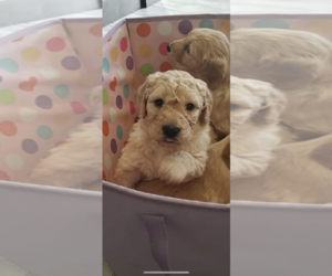 Goldendoodle Dog for Adoption in CANTON, Michigan USA