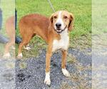 Small #12 Beagle-Treeing Walker Coonhound Mix