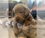 Small #16 Labrador Retriever
