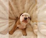 Small #33 English Bulldog